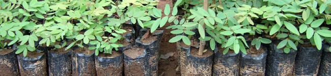 Senna siamea seedlings in black polythene tubes — tree planting in Africa