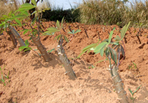 Young cassava shoots: Cassava provides the staple food for many people in Nkhata Bay District