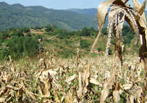 Local maize and poor nutrients produce disappointing crops
