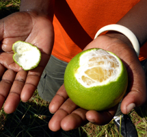 RIPPLE Africa has established a number of community fruit tree nurseries in Nkhata Bay District, Malawi