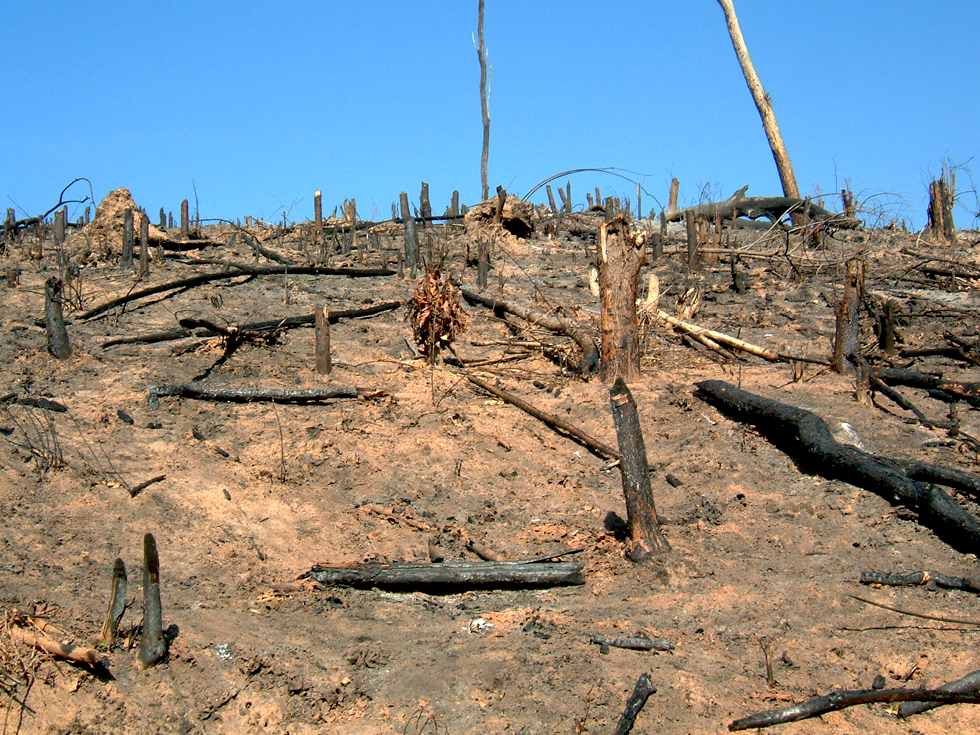 Once the trees have been cut down and burnt, the soil is exposed to erosion from the rain