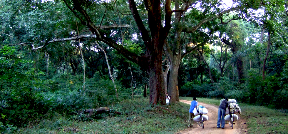 Primary forest at Kalwe: Much of Malawi had large trees like this