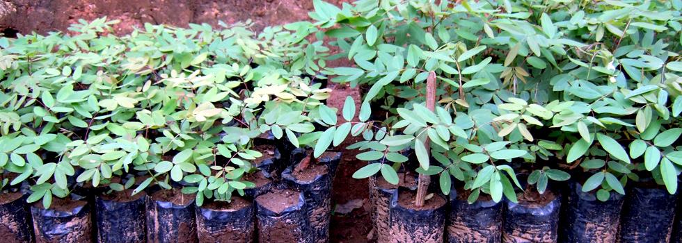Senna siamea seedlings in black polythene tubes — tree planting in Africa