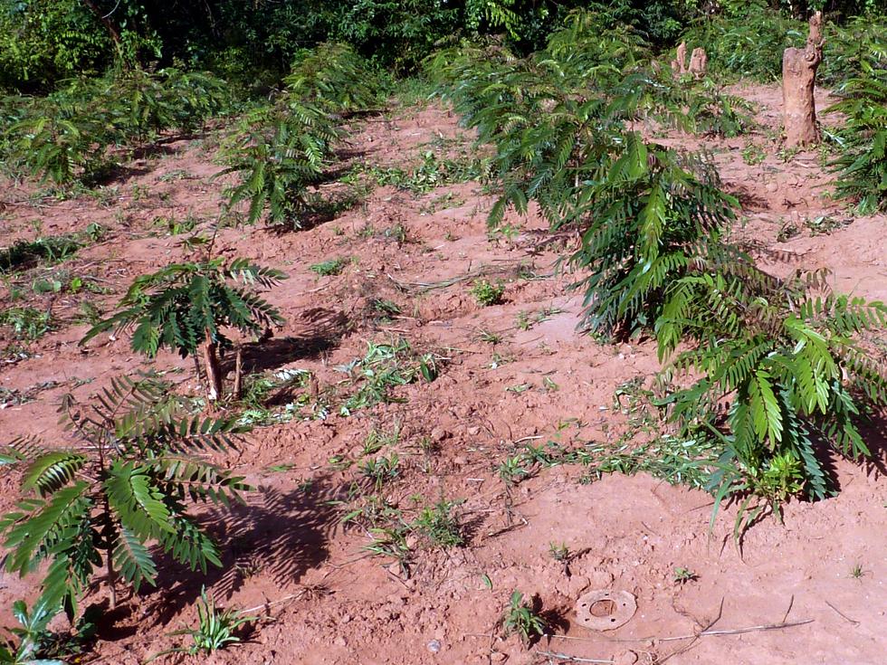 A well managed woodlot of senna siamea trees: YEAR 1