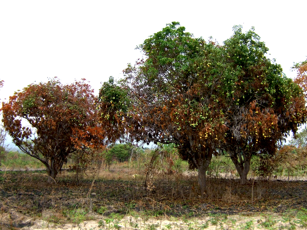 Bush fires burn out of control and often destroy mango trees, thatching grass, and other valuable resources