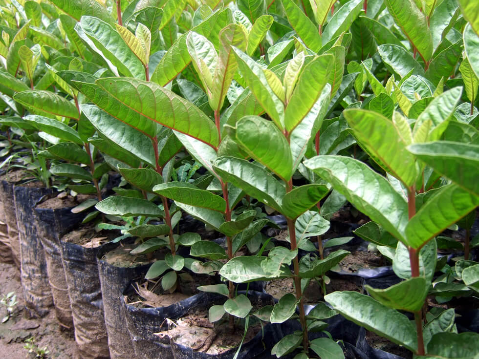 Young improved guava trees grown from seed