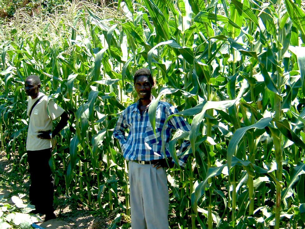 A healthy crop of improved maize grown in a low-lying fertile area
