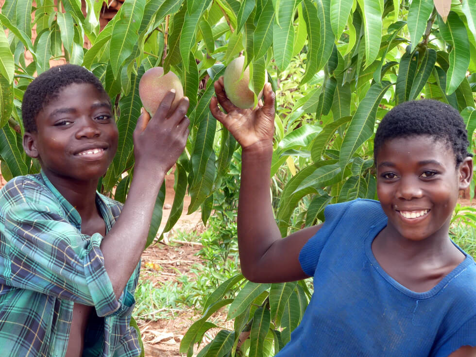 Improved RIPPLE Africa mango trees are already producing fruit
