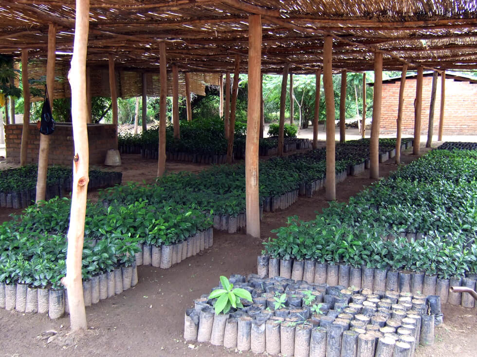 Fruit tree nursery at Mwaya, the home of RIPPLE Africa