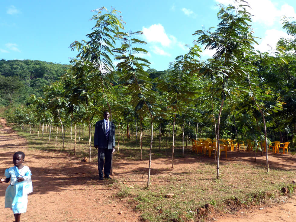 Senna siamea trees grow quickly and can be coppiced after five years for fuelwood: YEAR 3