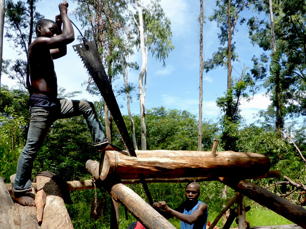 Sawyers cut down hardwood trees in the forest, usually without permission