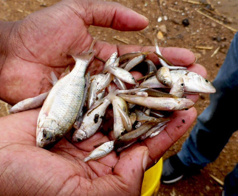 Small fish caught using mosquito nets in Malawi