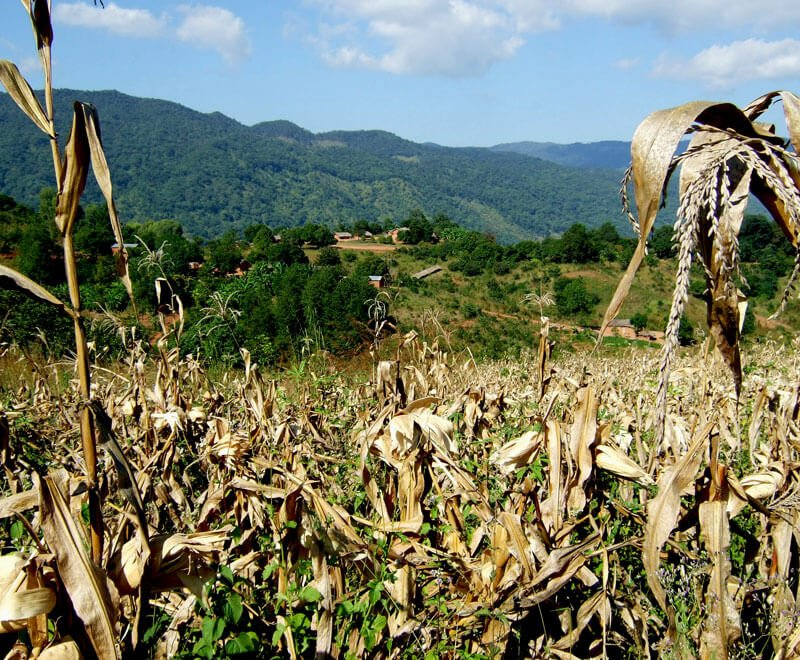 Maize Agriculture in Malawi