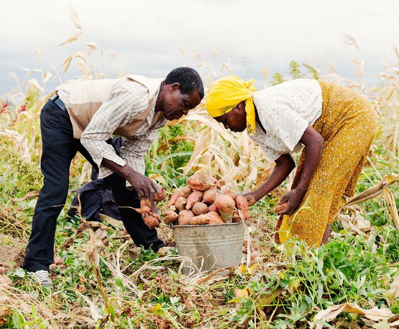 Couple harvesting sweet potatoes in Malawi