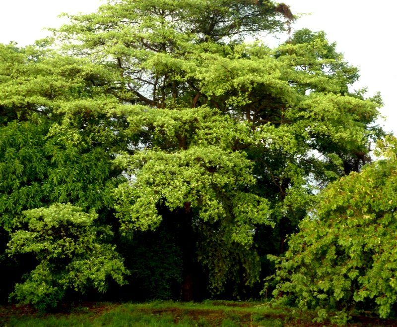 A beautiful tall green tree in Malawi