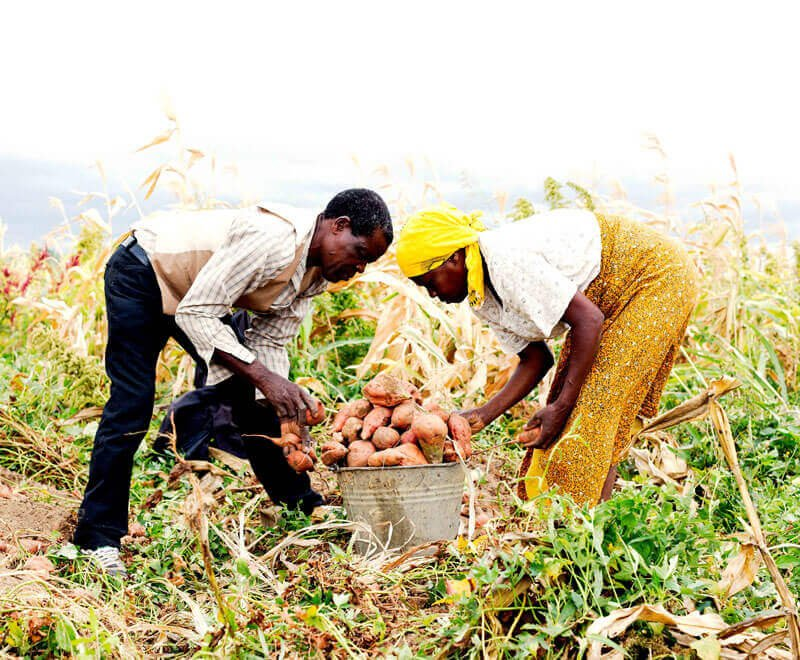 Planting_sweet_potatoes_Ripple_Africa_Malawi