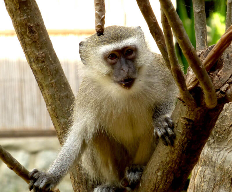 Vervet monkeys also live at Ripple Africa Lake Malawi accommodation