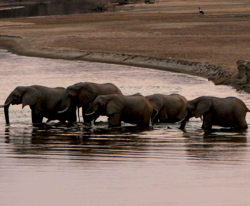 A herd of elephants in the watering hole in Africa