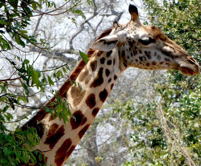 Volunteering in Africa enables you to do safari and see giraffes