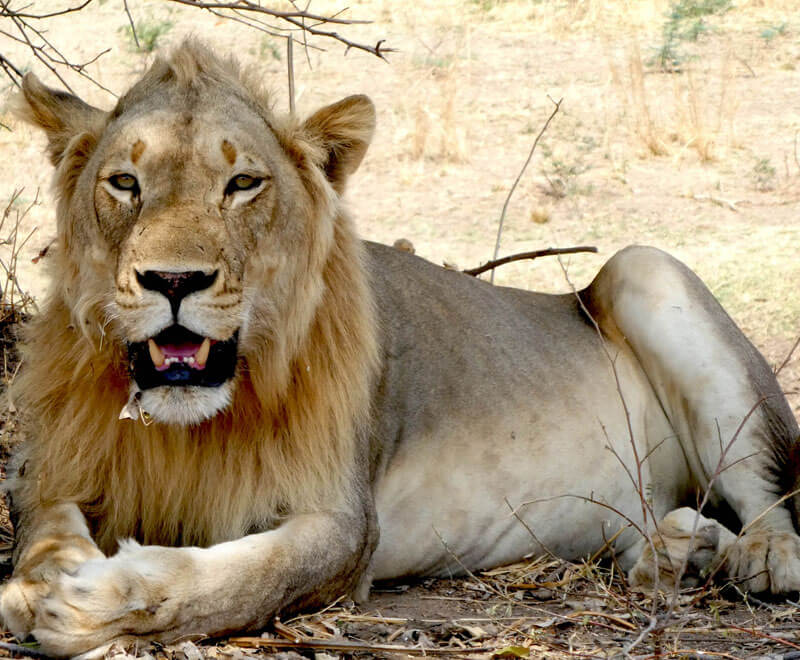 A lion seen on safari in Africa sitting in the shade