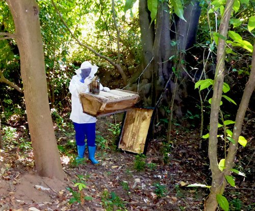 Harvesting honey from the beehive in Malawi
