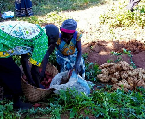 A chief and his wife in Malawi store away orange fleshed sweet potatoes