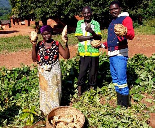 Farmers in Malawi harvest sweet potatoes