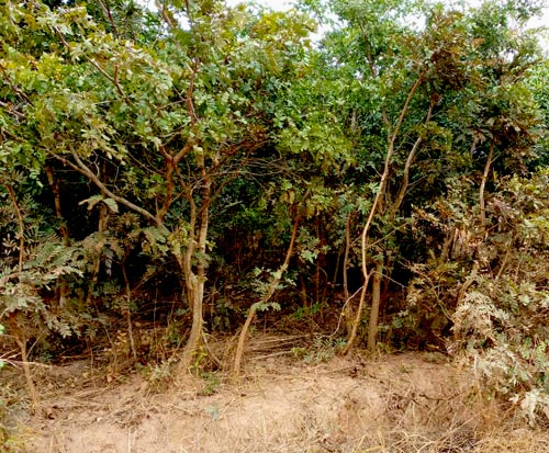 Hannock Mpata forest which is protected by a forest conservation committee in Malawi